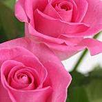 A Dozen Pink Roses Giftwrap