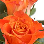 A Dozen Orange Roses Giftwrap