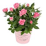 Pink Pot Rose