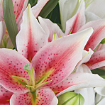 Lush Lillies