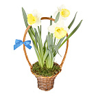 Spring Daffodil Basket