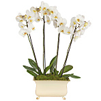 Regency Orchids White