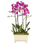 Regency Orchids Pink