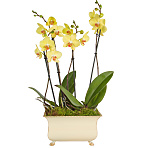 Regency Orchids Yellow