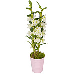 Mother`s Day Dendrobium Orchid