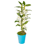 Dendrobium Orchid in blue pot