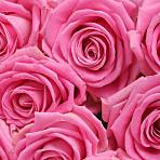 20 Luxury Pink Roses