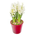 Christmas White Hyacinths