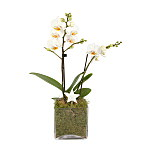 Christmas Orchid Cube - White