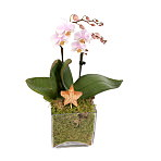 Christmas Orchid Cube - Pink