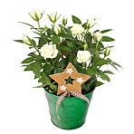 Festive White Rose