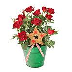 Festive Red Rose