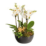 Christmas Orchid Bowl