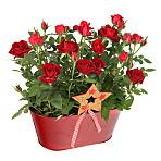 Red Rose Duo