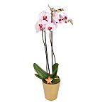 Pink Christmas Orchid