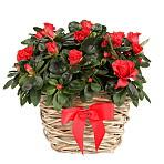 Red Azalea Basket