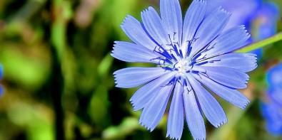 fleur de blé