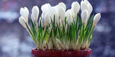 Fleurs de Fevrier Crocus