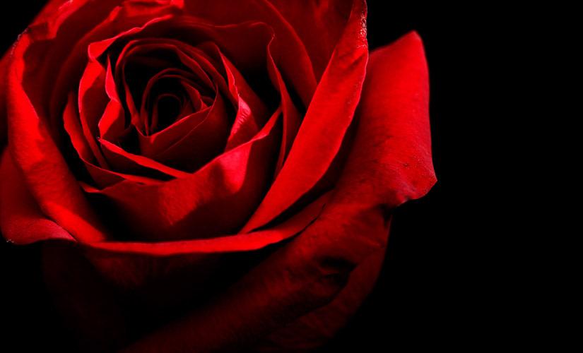 red-roses-hipper-france