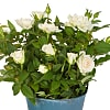 White Pot Rose