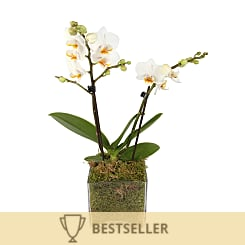 Luxury White Orchid - Flowers