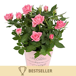 Pink Pot Rose - Flowers