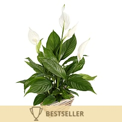 Peace Lily Basket - Flowers