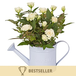 Baby Boy Rose Gift - Plants