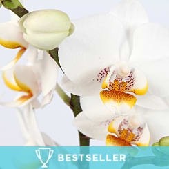 Luxury White Orchid - Plants
