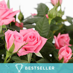 Pink Rose Planter - Plants