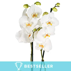 White Phalaenopsis Orchid - Plants