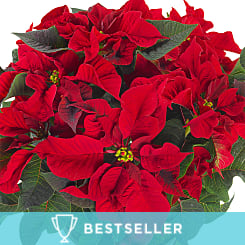 Red Christmas Poinsettia - Flowers