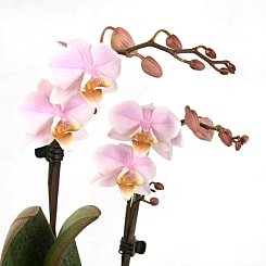 Luxury Pink Orchid - Plants