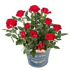 Red Pot Rose - Flowers