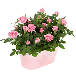 Pink Rose Duo - Plants