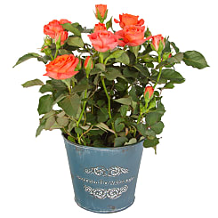 Orange Pot Rose - Flowers