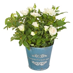 White Pot Rose - Flowers