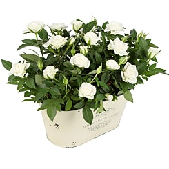 White Rose Duo - Plants