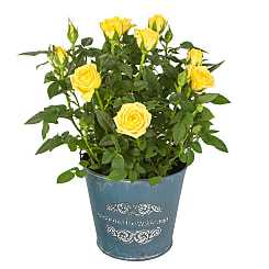 Yellow Pot Rose - Flowers