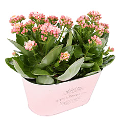 Pink Kalanchoe Duo - Plants
