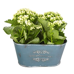 White Kalanchoe Duo - Hampers