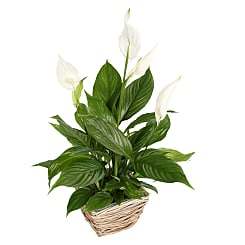 Peace Lily Basket - Plants