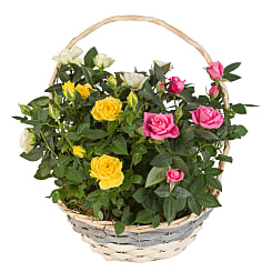 Mixed Rose Basket - Flowers