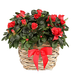Red Azalea Basket - Plants