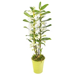 Dendrobium Orchid in Lime Pot - Flowers
