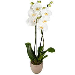 White Phalaenopsis Orchid - Flowers