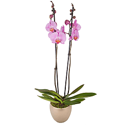 Pink Phalaenopsis Orchid - Plants