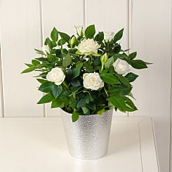 White Potted Rose - Plants