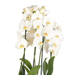 White Phalaenopsis Orchid Planter - Plants