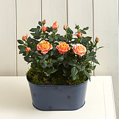 Orange Rose Planter - Plants
